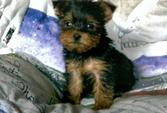 Akc Tea Cup Yorkie Puppies